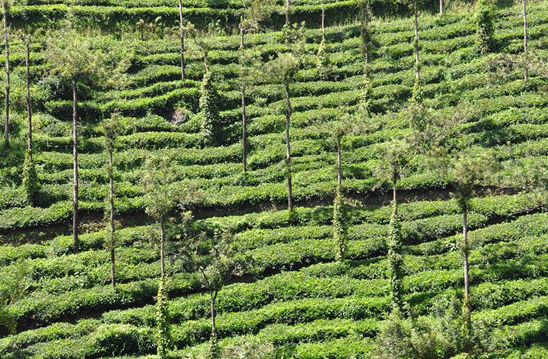 plantations-2