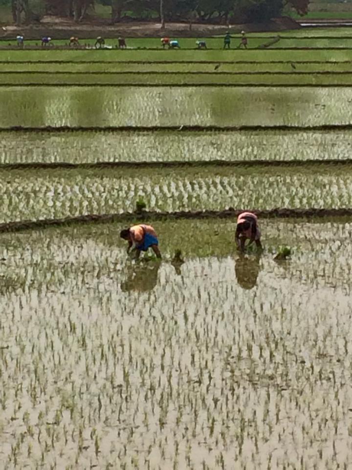 IL est temps de repiquer le riz