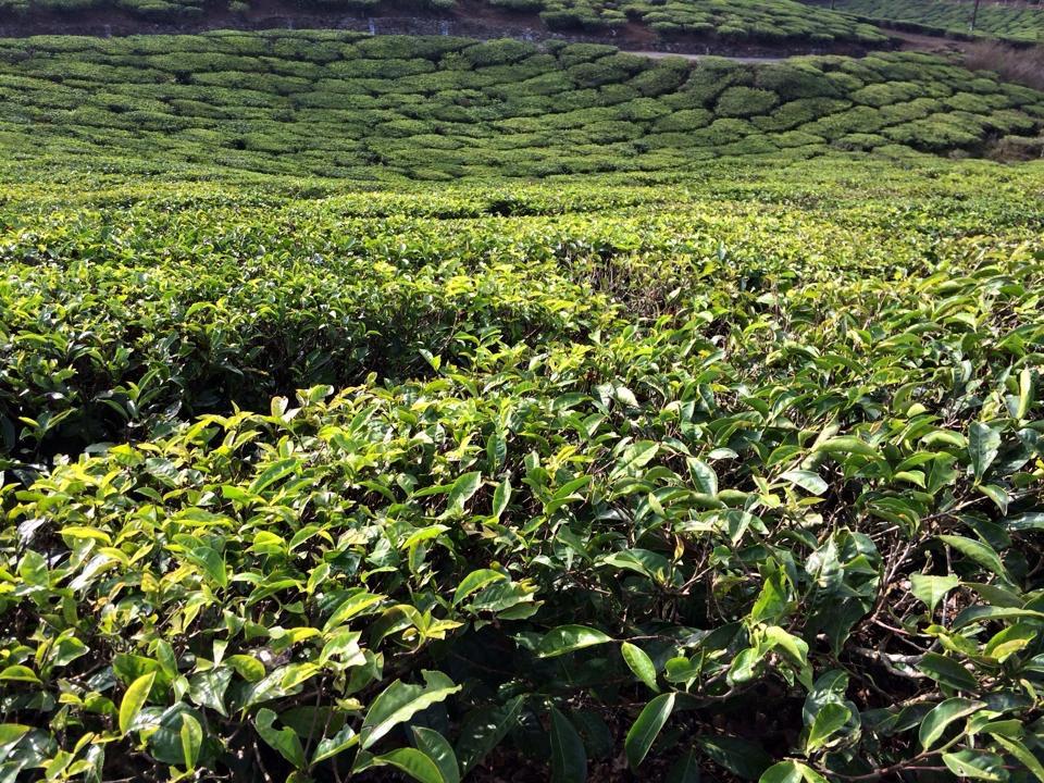 Balade au pays du thé Nilgiri